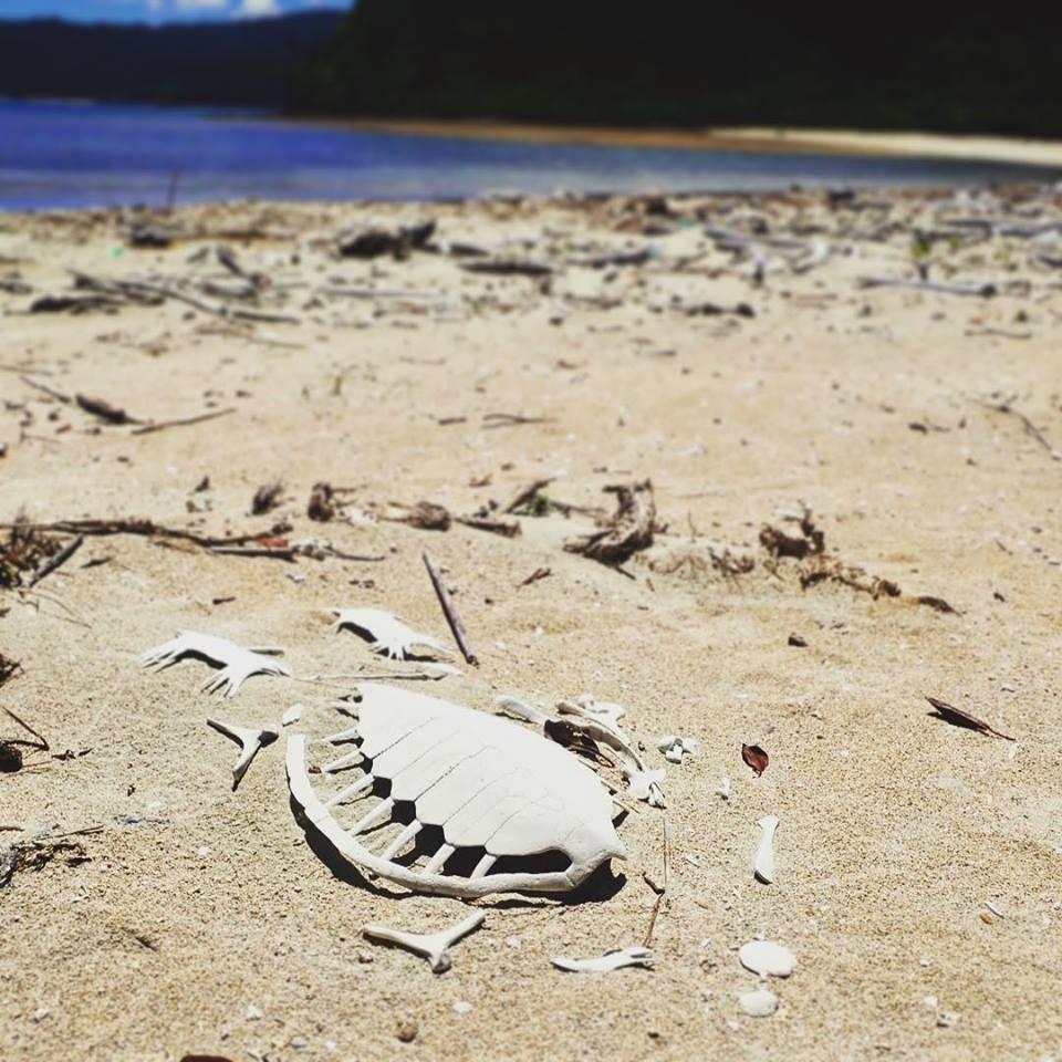 ウミガメの白骨遺体