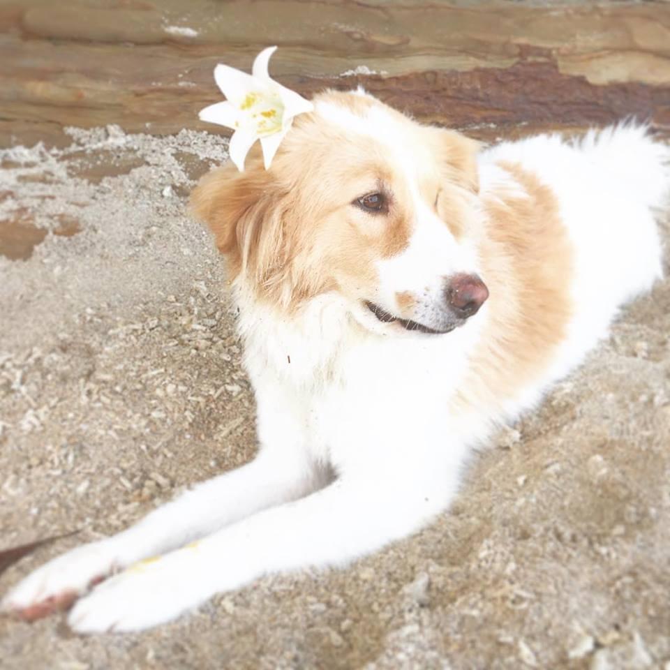 西表島の犬
