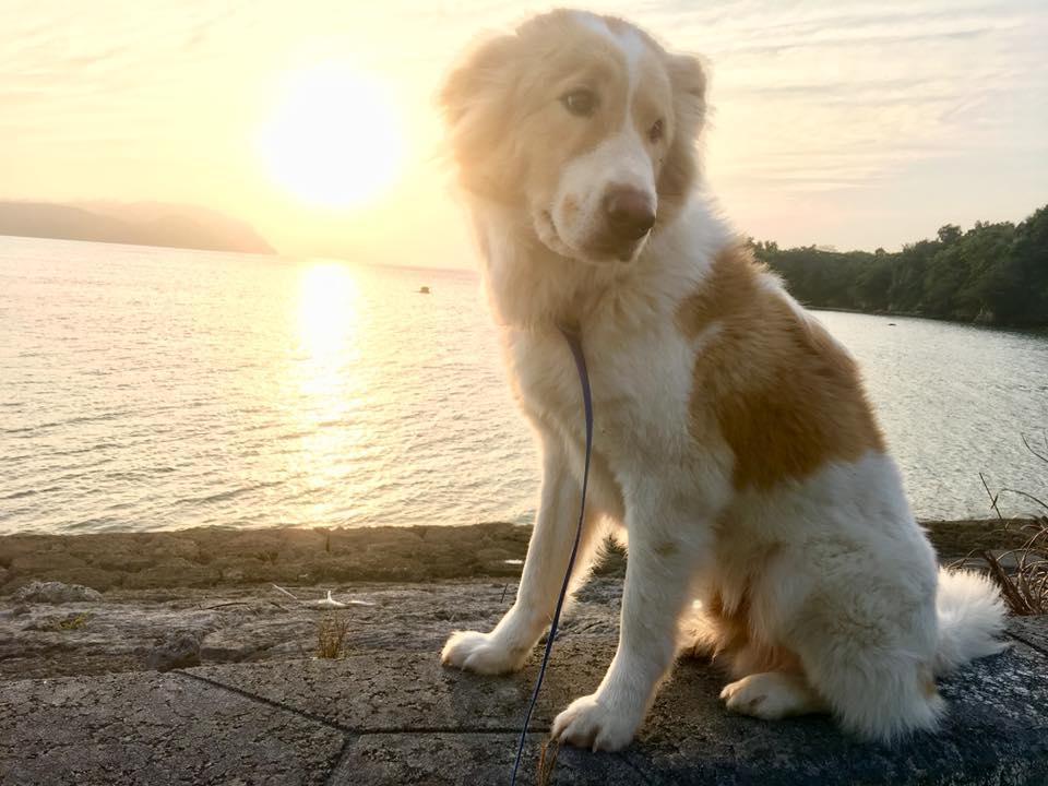 西表島の愛犬