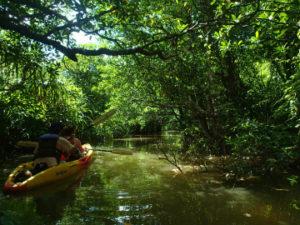 西表島の簡単マングローブカヌー