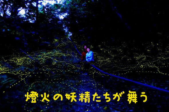 西表島の森の中でヤエヤマボタルに出会う