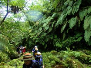 大きなシダが生い茂る沢をトレッキング