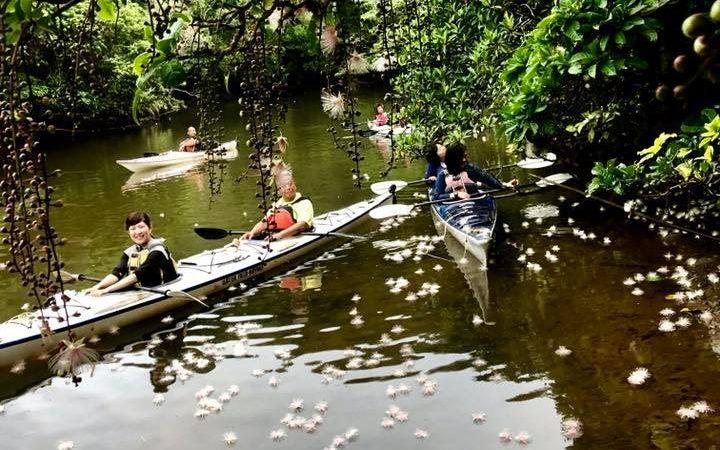 西表島仲良川のサガリバナ、絶好調です!