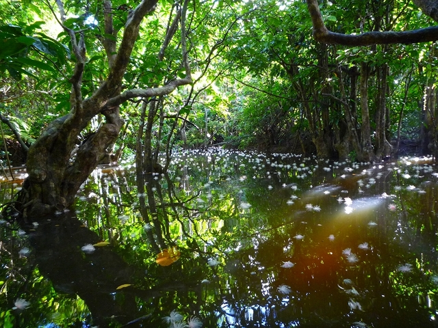 仲良川支流のサガリバナ